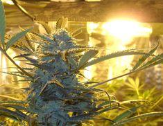 HID (High Intensity Discharge) Grow Lights | Weedist