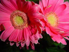 Photograph Greeting Card Bright Pink Dahlia by MYSAVIOR on Etsy, $3.00