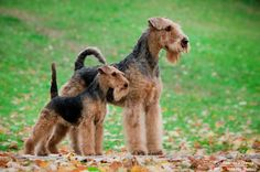 Airedale Terrier and Welsh Terrier . . .  My two babies. Love them!