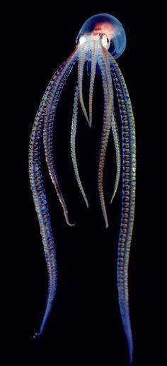 The translucent Pelagic Octopus #underwater #Pelagic Octopus