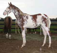 Picasso Twist, sabino or possibly minimal dominate white thoroughbred colt bred by Blazing Colours Farm