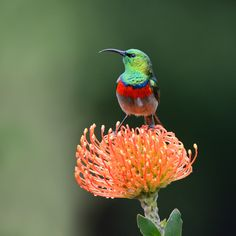"""""""Tiny Beauty"""", Southern Double-collared Sunbird or Lesser Double-collared Sunbird, Cinnyris chalybeus (formerly placed in the genus Nectarinia) by Harry  Eggens on 500px"""