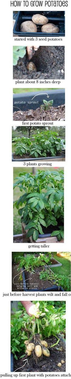 """""""How to potato harvest"""""""