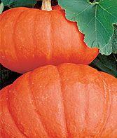 Rouge Vif d`Etampes Pumpkin Seeds and Plants, Vegetable Gardening at Burpee.com