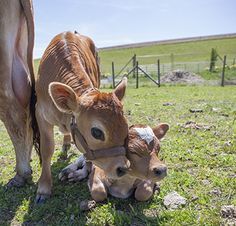animals, calv, cutest babies, big eyes, big sis, babi cow, adorable3, the farm, animal babies