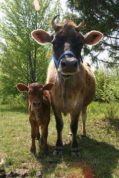 Vaca e seu bezerro