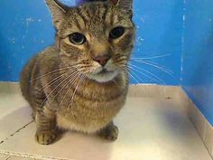 URGENT!!! SMOKIE IS ON THE NYCACC TUES. JUNE 11, 2013 EUTHANASIA LIST!!! AtManhattan Center. My Animal ID # is A0966990. I am a neutered male brown tiger DSH mix. The shelter thinks I am about 7 YEARS old.  I came in the shelter as a OWNER SUR on 05/31/2013 from NY 10460, owner surrender reason stated was MOVE2PRIVA. TO SAVE THIS SWEET BOY, PLEASE SEE: http://urgentpetsondeathrow.org/must-read  Also see: https://www.facebook.com/PetsOnDeathRow/app_396393053713168?ref= ts  Thank you!