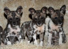 wild african dog puppies