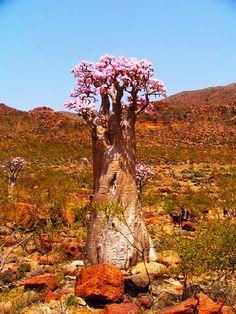 The Desert Rose (Adenium) Succulent