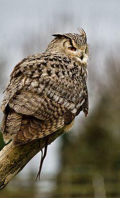 Siberian Eagle Owl