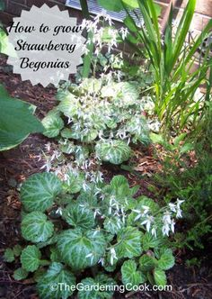 Strawberry begonia plants are quite hardy and look great in strawberry planters.  Find out how to grow this beauty:  http://thegardeningcook.com/strawberry-begonia/