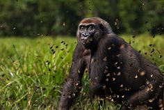This visually captivating image of a gorilla walking through butterflies is from NPL's Winter 2013 highlights. Visit the site to see the full collection which includes: photos of rare western lowland gorillas, weird Japanese giant salamanders, endangered Amur leopards, dolphins, penguins, albatrosses, and seabirds from Christmas Island, European wildlife and illustrations of many extinct species.