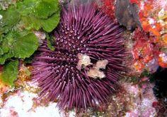 Paracentrotus lividus (sea urchins) | World Ocean Observatory