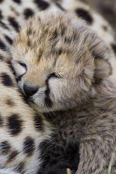 Precious Sleeping Cheetah baby
