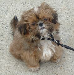 Shih-tzu puppy!