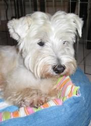 Buster: West Highland White Terrier Westie, Dog; Carrollton, TX - save a senior!  cute puppy that was neglected by its original owners