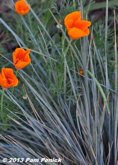 California poppies and blue fescue