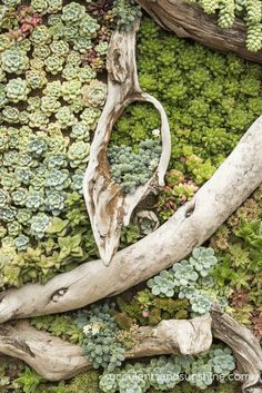 .driftwood and succulents