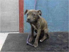 URGENT  3 mnth old pup in deadly Lancaster  Has prolapsed anus. OUT OF TIME ID#A4581185 male, brown brindle Pit /mx about 3 months old.  been at the shelter since May 23, 2013. https://www.facebook.com/photo.php?fbid=317223978408013=a.118132861650460.19466.100003612410268=3  For more information about this animal, call: Los Angeles County Animal Control - Lancaster at  (661) 940-4191 Ask for information about animal ID number A4581185 Like ·  · Share