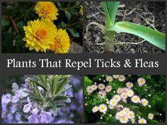Plants That Repel Ticks & Fleas  http://www.selfsufficiencymagazine.com/plants-that-repel-ticks-fleas/