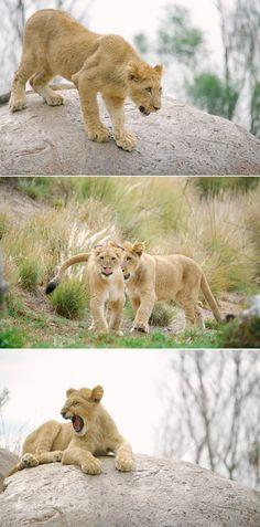 Lion cubs, Ken and Dixie