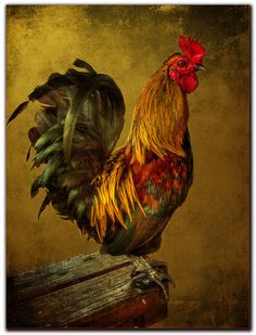 lillypotpie:    Barnyard Rooster by smee.bruce on Flickr.
