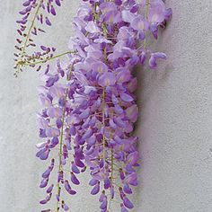 Wister­ia sinensis. love wisteria but not sure if I can grow it.