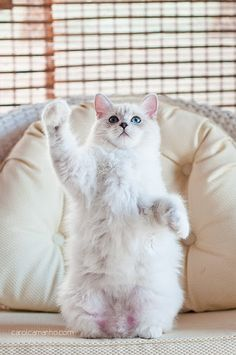 #cat Funny Kitty, Polar Bears, Maneki Neko, Manekineko, Teddy Bears, Fat Cat, Kittens, Hello Kitty, White Cat
