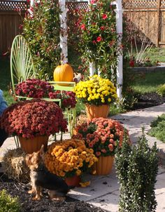 Fall Garden Ideas. Love the containers the mums are in!