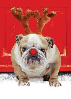 Have a Bulldog Merry Christmas :)