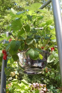 strawberry plants in a colander = great idea!