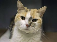 All her life, the gentle, submissive Daisy, a 14-year-old calico has lived with one family; that is until they surrendered her on August 30 to the Brooklyn facility of New York City Animal Care and Co