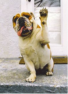high five, anim, funny dogs, pet, english bulldogs