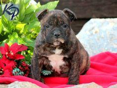 Scruffy – American Bully Puppy www.keystonepuppies #keystonepuppies  #americanbully