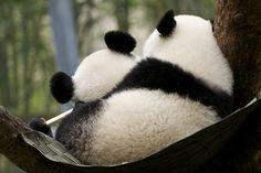 panda hammock