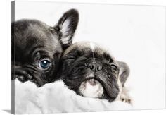 Two French bulldogs puppies snuggled up together in a white fleece