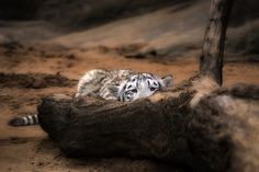 baby snow leopard pounce in 3... 2... 1...