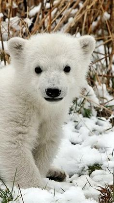 Polar Bear Cub on the snow