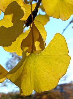 Ginko leaves