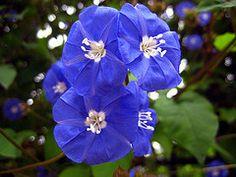 Skyblue Clustervine, Pentantha flower