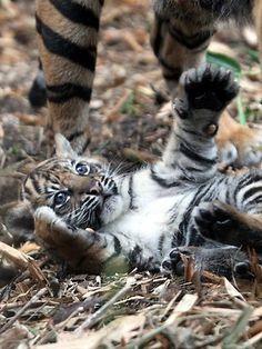 Taronga Zoo tiger cub
