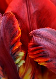 Flaming tulip by Funchye, via Flickr
