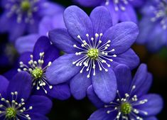 Stunning Blue Flower called the Anemone Hepatica