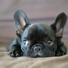 French Bulldog Pup  love him!!