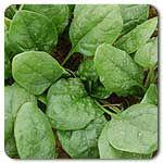 Organic Renegade F1 Hybrid Spinach