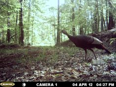 What a pretty hen! She was caught on the trail cam in Titus, Alabama. Alabama game, wildlife, hunting, outdoors, Wild Turkey http://ithappensinalabama.com