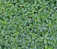 Low-growing and spreading, groundcovers can fill in the blank spaces in your garden and landscape. Some grow into thick mats of foliage that efectively choke out weeds and never have to be mowed. Flowering groundcovers become attractive carpets of color in shaded or sunny spots. Groundcovers also add color and texture to rock gardens and are one of this summer's most popular trends.