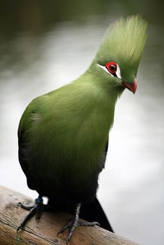 Green (Guinea) Turaco, South Africa