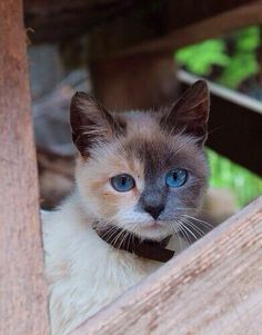 kitten, cat, blue eye