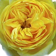 Wholesale Garden Rose Yellow Lemon - Blooms by the Box